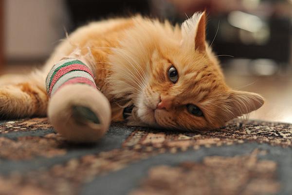 кошка поранила себе лапу